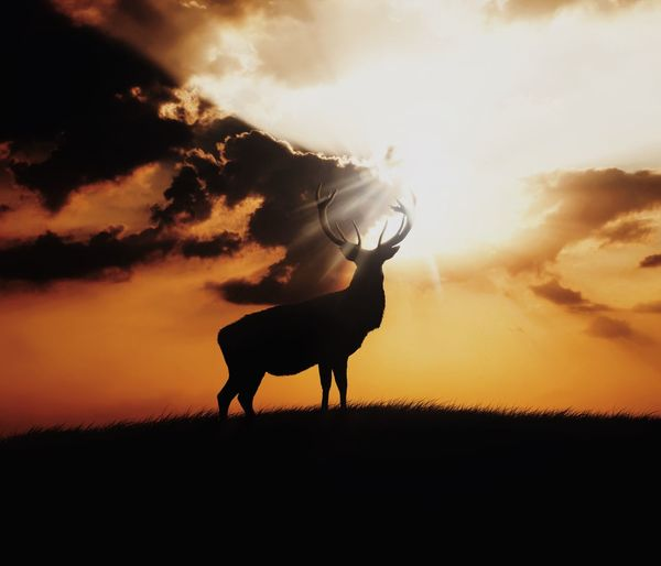 Silhouette stag on field against cloudy sky during sunset
