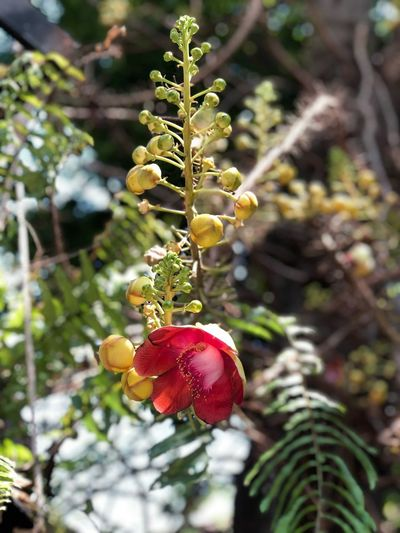 Sal flowers on the tree Food Food And Drink Plant Growth Tree Fruit Healthy Eating Focus On Foreground No People Freshness Close-up Nature Wellbeing Day Hanging Branch Beauty In Nature Leaf Berry Fruit Plant Part