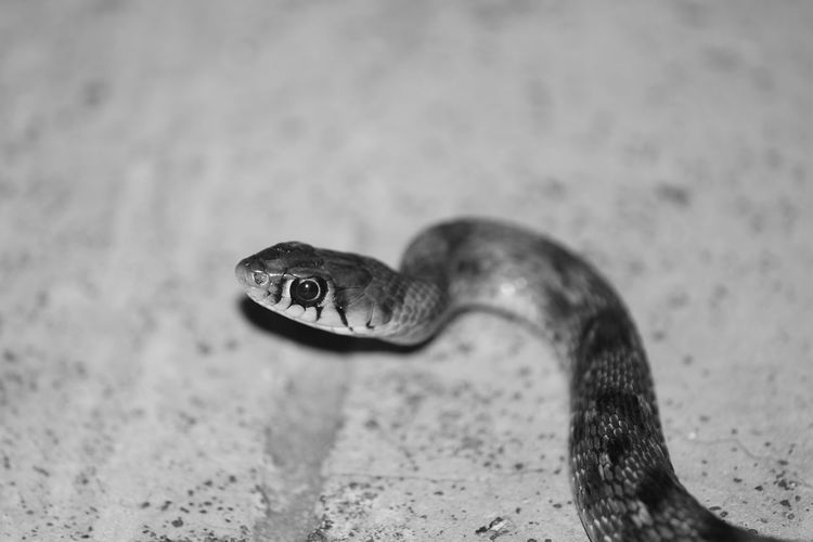 Animal Wildlife One Animal Animal Eye Reptile Animals In The Wild No People Portrait Day Nature Close-up Animal Themes Outdoors Animals In The Wild Snake Photography Reptile Snake Skin Snakes Are Beautiful Eyeem India EyeEm Snake Nature DSLR Photography Taking Photos Snake Head