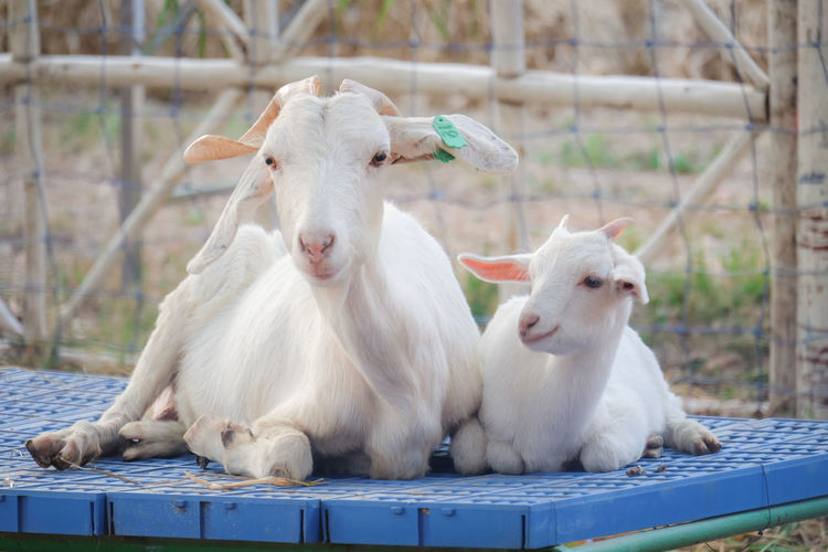 Baby goat smile with mom. Goat Mother Goat And Baby Animal Mammal Animal Themes Group Of Animals Vertebrate Domestic Animals White Color No People Focus On Foreground Pets Domestic Day Livestock Nature Outdoors Three Animals Relaxation Wood - Material Young Animal Animal Wildlife Herbivorous Animal Family