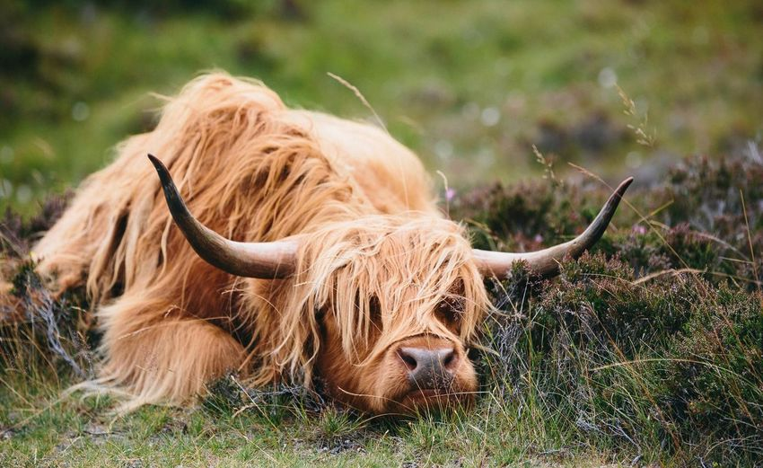 Over it Metime Relax Outdoors Scunnered Canon Coo Hairy  Scotland Wild Landscape Scotland Highlands EyeEm Selects Animal Animal Wildlife Horned Highland Cattle Cattle One Animal No People Animal Hair Field Grass Brown Nature