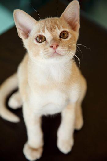 Pet Portraits EyeEm Selects Pets Domestic Cat Portrait Indoors  Domestic Animals Animal Sitting Looking At Camera One Animal No People Feline Animal Themes Kitten Burmese Cat