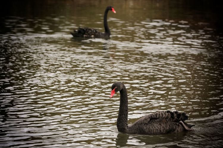 Animal Themes Animal Wildlife Animals In The Wild Bird Birdland Black Swan Black Swan Bourton On The Water Cheltenham Day Lake Nature No People One Animal Outdoors Swan Swimming Water Water Bird Waterfront Wildlife