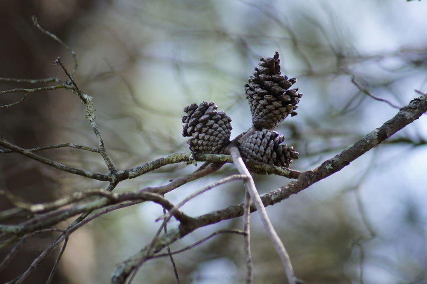 """Hanging on by a """"branch"""" Dead Tree Pinecones Beauty In Nature Branch Close-up Day Fall Is Coming Growth Nature No People Outdoors Outside Photography Pinecones On Tree Plant Tree Winter"""