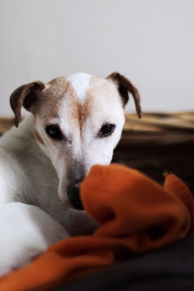 Pets Dog Domestic Animals One Animal Animal Themes Mammal Indoors  Relaxation Bed Home Interior Close-up Portrait No People Day Jackrussell Terrier Doglife Morning Dog Morning Sleepy Sleepydog Blanket 50mm1.4 Depth Of Field 50mm
