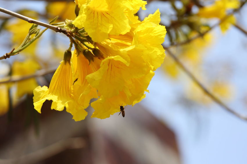 Beauty In Nature Close-up Day Flower Flower Head Flowers Fragility Freshness Golden Trumpet Tree Nature No People Outdoors Tabebuia Chrysotricha Tree Flowers Yellow Yellow Flower