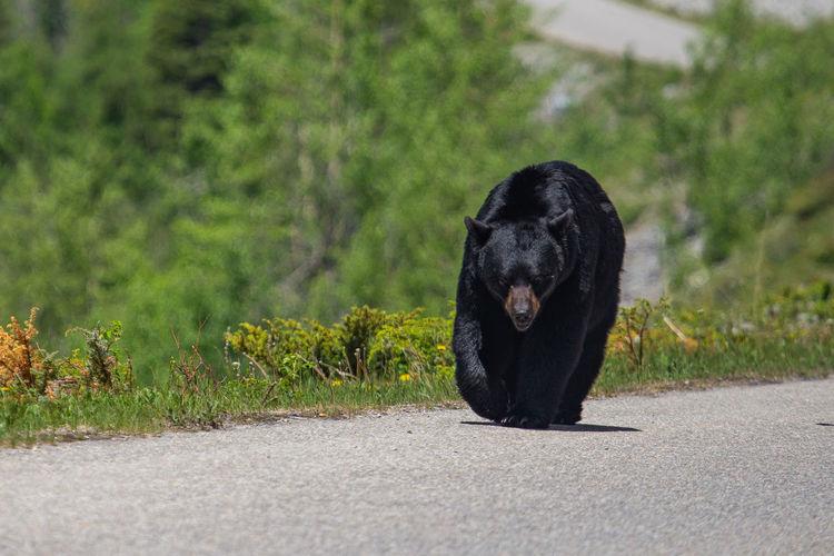 Portrait of black dog on road