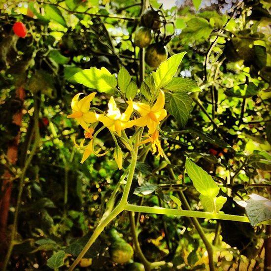 #lifeisbeautiful #oradaria #pomodorini #profumo #sole