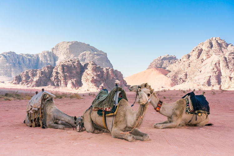 Camels relaxing on desert against clear sky
