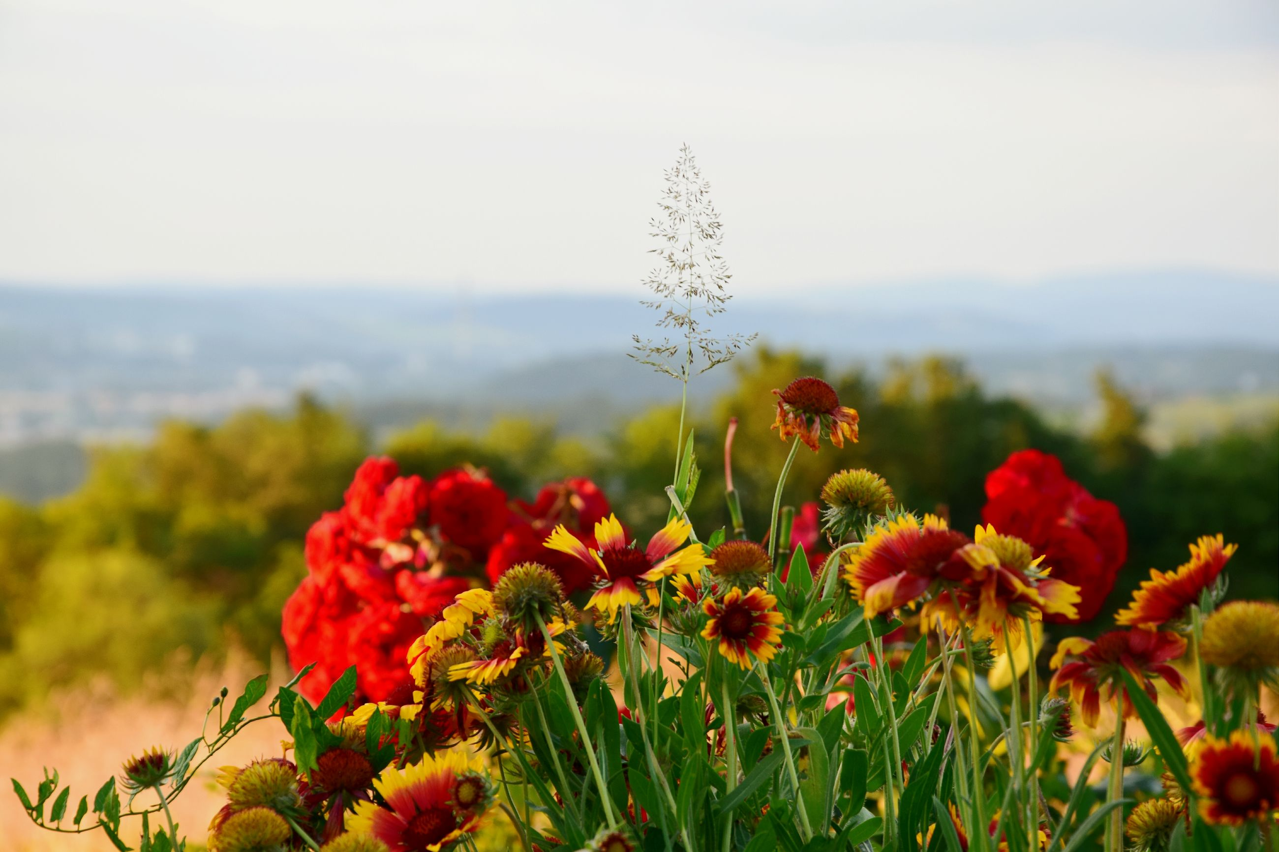 flower, freshness, fragility, growth, beauty in nature, plant, focus on foreground, nature, petal, red, blooming, flower head, clear sky, close-up, field, stem, in bloom, sky, outdoors, botany