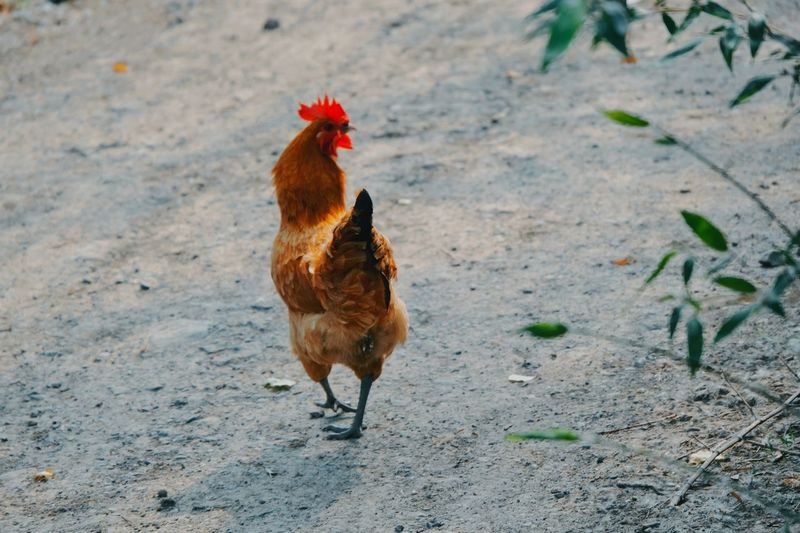 EyeEm Selects Livestock Chicken - Bird Domestic Animals Animal Themes Animal Bird Mammal Domestic One Animal Land Chicken Vertebrate Hen Pets Male Animal Nature Field No People Rooster Day