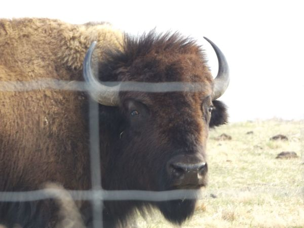 American Bison Animal Themes Bull Cattle Close-up Day Domestic Animals Grass Highland Cattle Livestock Mammal Nature No People One Animal Outdoors Sky