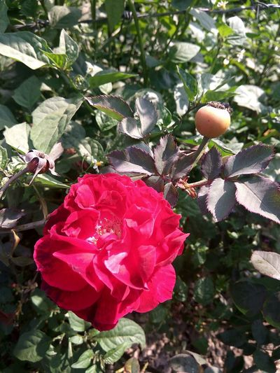 Red Outdoors Nature No People Growth Tree Freshness Day Beauty In Nature Close-up Flower Red Rose Rose - Flower Rose🌹 LoveNature Love Flowers! Love_flowers Flower For You