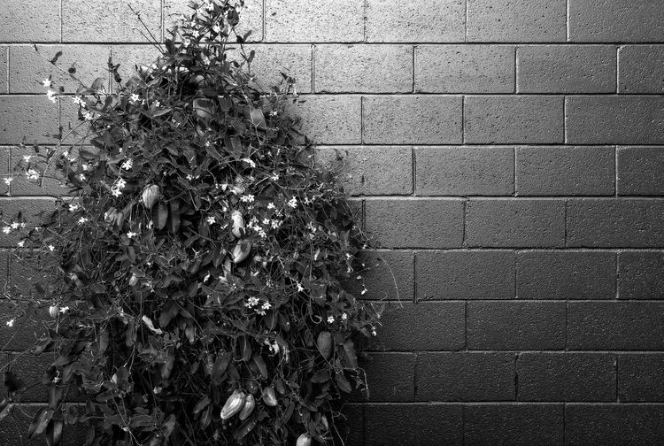 Black And White Brick Wall High Contrast Plant Vine Wall - Building Feature