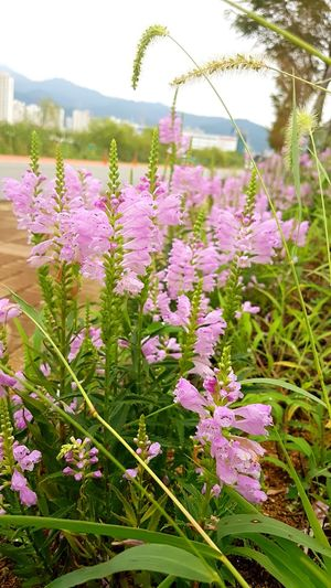 Flower Flowering Plant Plant Beauty In Nature Freshness Nature Pink Color No People Grass Day Outdoors Garden Multi Colored