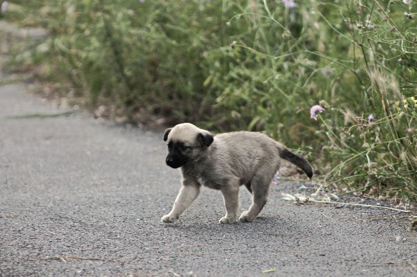 Kangal Dog puppy III Istanbul Puppy Love Turkey Domestic Animals Heybeliada Island Kangal Kangal Puppy Mammal One Animal Pets Puppy Road Street Dog Street Puppy Streetdog Streetdogs Streetphotography Turkeyphotooftheday Walking Young Animal çoban Köpeği