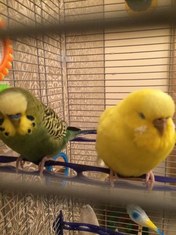 Bird Budgerigar Animal Themes Cage Birdcage Perching Yellow No People Pets Indoors  Domestic Animals Nature Day Close-up Beak