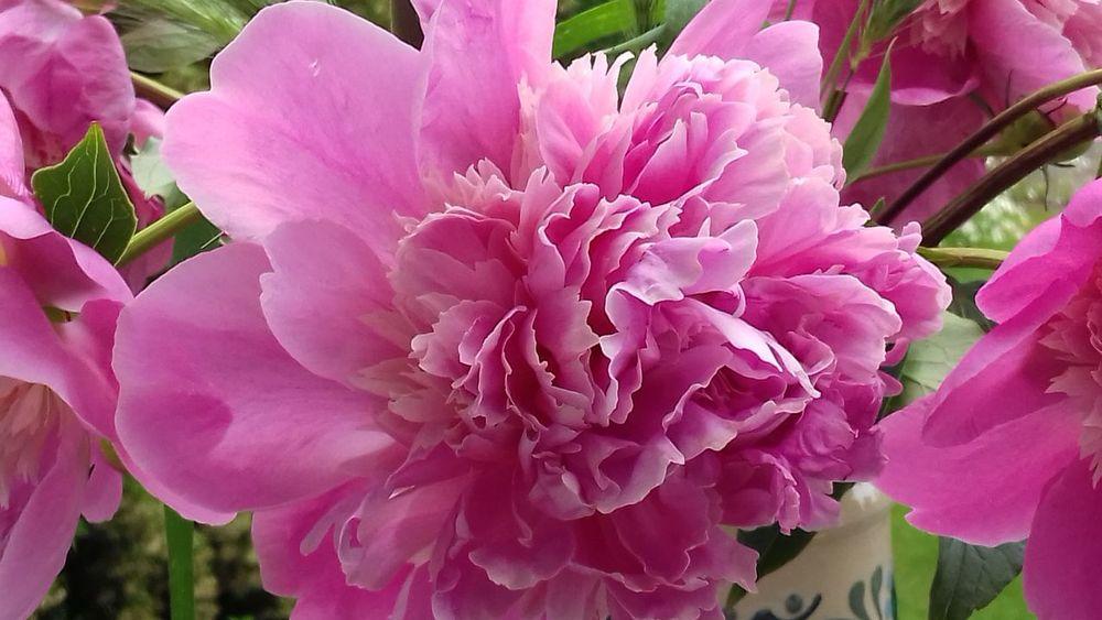 Blüte Blume Bauerngarten Rosa Gartenglück Paonia Päonien Pfingstrose Flower Petal Pink Color Beauty In Nature Fragility Nature Flower Head