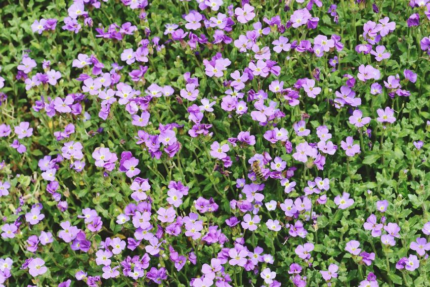 natural fullframe background of arabis (arabis aculeolata). rockcress. Natural Background Plant Background Springtime Fullframe Background Natural Texture Arabis Rockcress Purple Flower