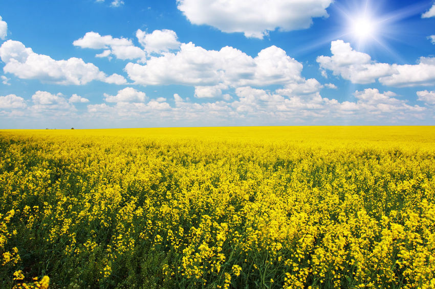 Abundance Agriculture Beauty In Nature Cloud Cloud - Sky Cloudy Crop  Cultivated Land Field Flower Freshness Growth Horizon Over Land Idyllic Landscape Nature Oilseed Rape Outdoors Plant Rural Scene Scenics Sky Tranquil Scene Tranquility Yellow