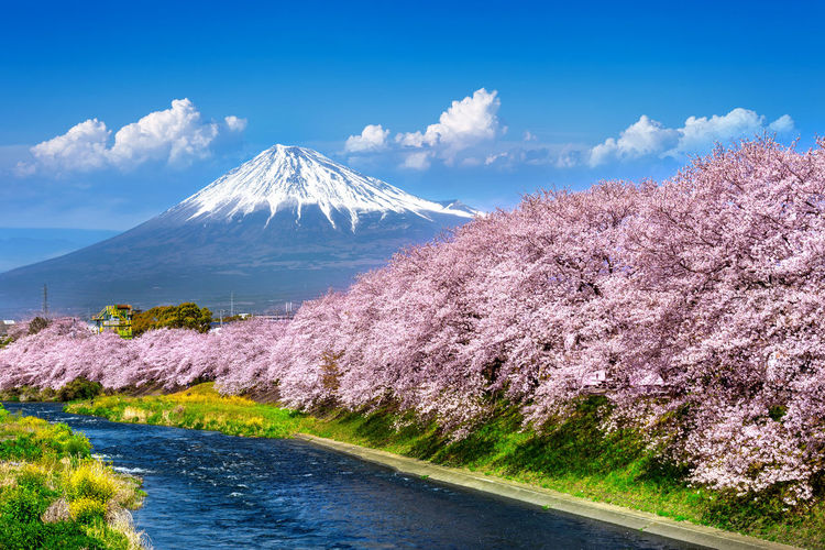Fuji mountains and cherry blossoms in spring, Japan. Beauty In Nature Scenics - Nature Mountain Sky Plant Tranquil Scene Nature Volcano Cloud - Sky Day Tranquility No People Tree Water Snow Non-urban Scene Land Idyllic Travel Destinations Outdoors Mountain Peak Snowcapped Mountain Cherry Blossom