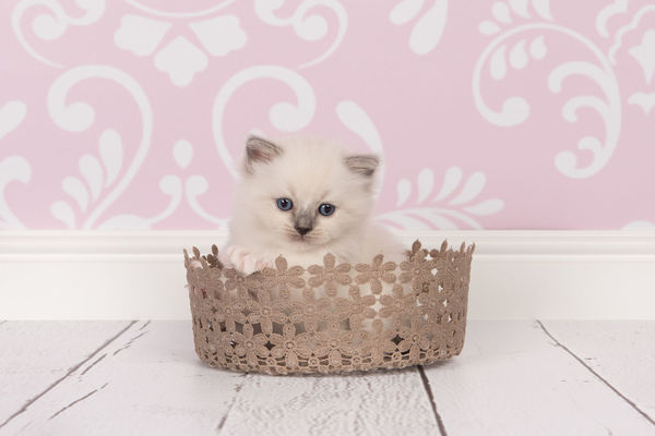 Baby cat in lace basket Animal Baby Cat Cute Full Length Kitten Kittens Looking At Camera No People Persian Cat  Pets Pink Color Portrait Puppy Rag Doll Cat Softness Young Animal