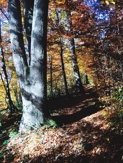 Herbstpfade Herbststimmung Wandern Hiking Wege Tree Plant Nature No People Sunlight Day Forest Land Outdoors Beauty In Nature Tree Trunk Shadow