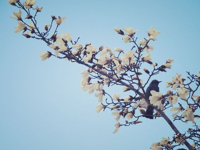 Close-up of cherry blossom against clear sky