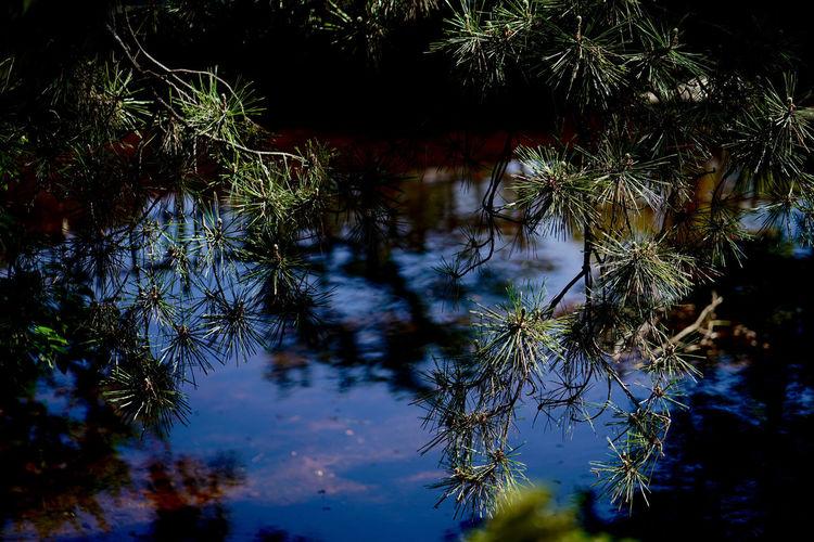 福山城に行ったのに、城の写真を撮ってないという。 Beauty In Nature Lake Pine Pine Trees Pinetrees Tree Water Water Surface 城 福山