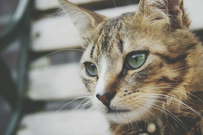 Beauty In Nature Beautiful Cute Kitten Photography Cat Photography Pets Portrait Feline Domestic Cat Looking At Camera Close-up Tabby Cat Animal Eye Ear Whisker Leopard Snout Tabby Animal Face Eye Kitten Nose