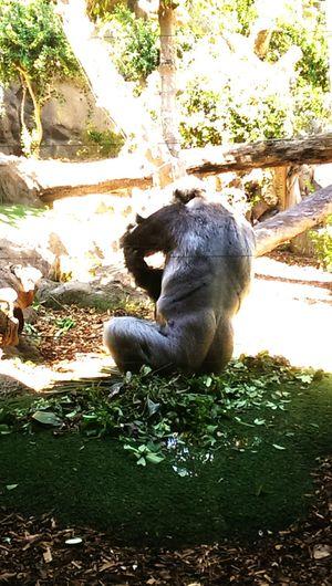 Gorilla Animal Puertodelacruz Teneriffa