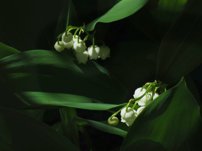 Beauty In Nature Blooming Close-up Day Flower Flower Head Fragility Freshness Green Color Growth Leaf Light And Shades Light Rays Lily Of The Valley Nature No People Outdoors Petal Plant