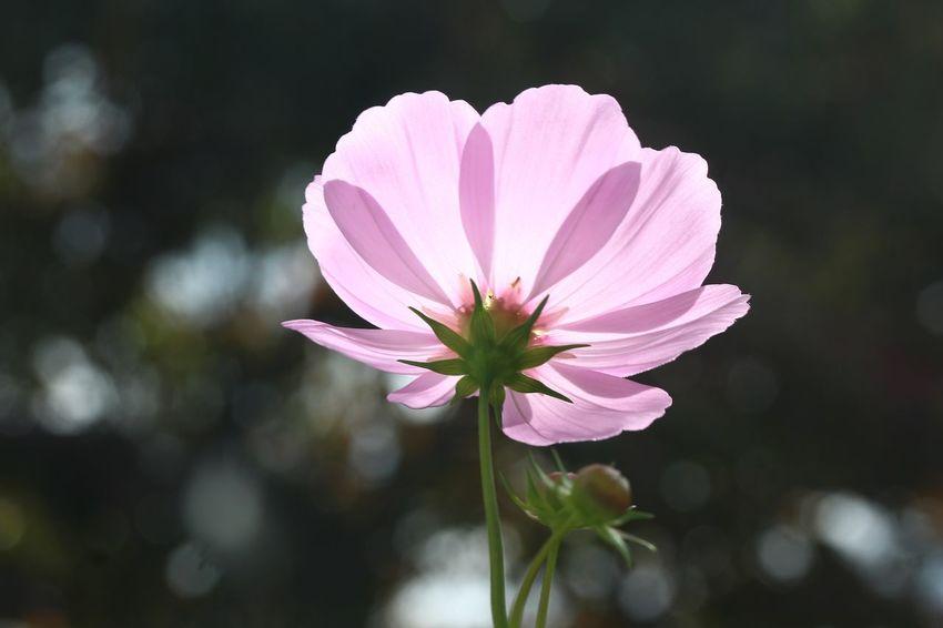 Backlight Shot Flowering Plant Flower Freshness Fragility Petal Vulnerability  Plant