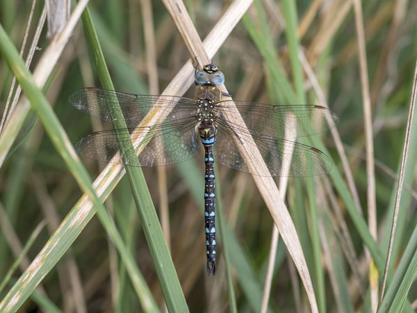 Migrant hawker, male, Aeshna mixta Autumn Dragonfly Animal Animal Themes Incect Macro Male Outdoors