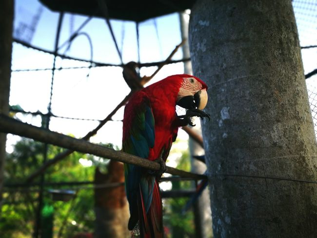 Red Tree Bird Animal Themes Animals In The Wild Macaw Parrot Day Scarlet Macaw One Animal Outdoors No People Perching Woodpecker Sky Nature Parrots Of Eyeem Trinidad Trinidad And Tobago Beauty In Nature