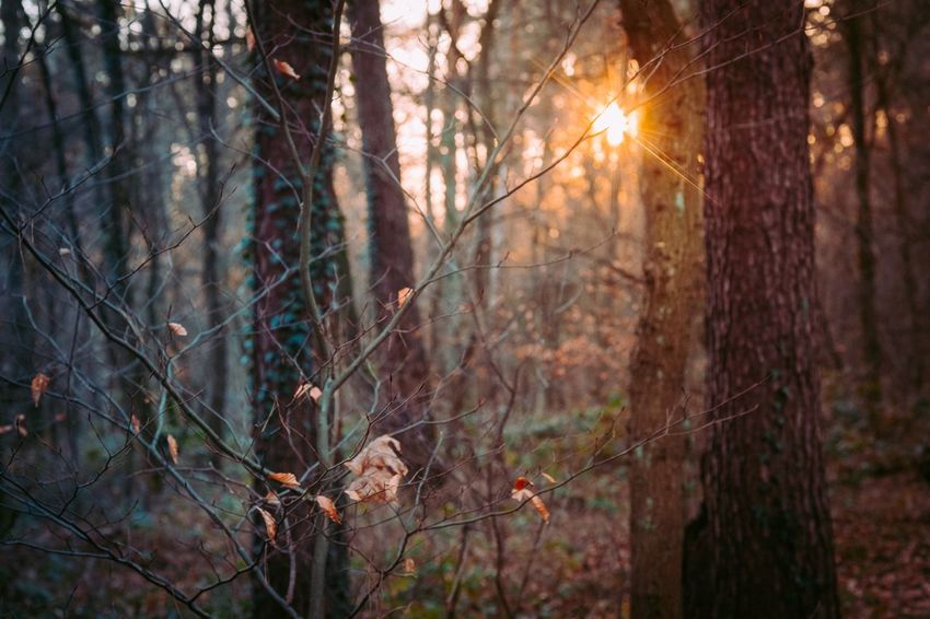 Tree Forest Nature WoodLand Sunlight Outdoors Sunset No People Fog Branch Day Beauty In Nature Zeiss60mm Tenebrio.photos Fuji-xe2s Wintertime Showcase: December Frosty Mornings Sun Glow