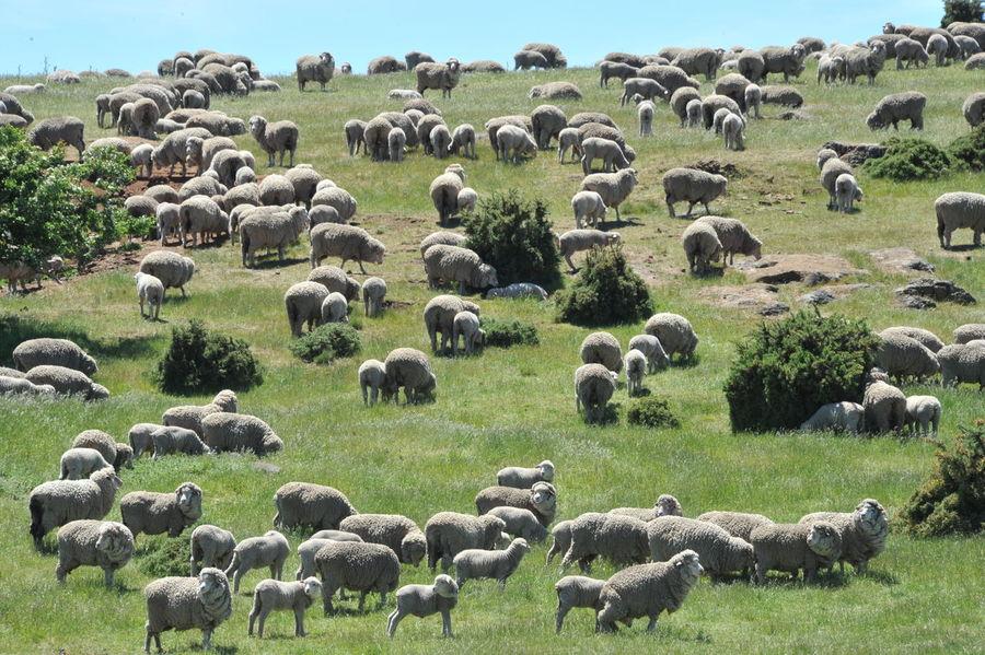 sheep Nature Photography Sheep Wool Tasmanien Sattes Grün Schafe Sheep Farm Sheep Ranch Sheep🐑 Tasmania, Australia Tasmanian Landscape
