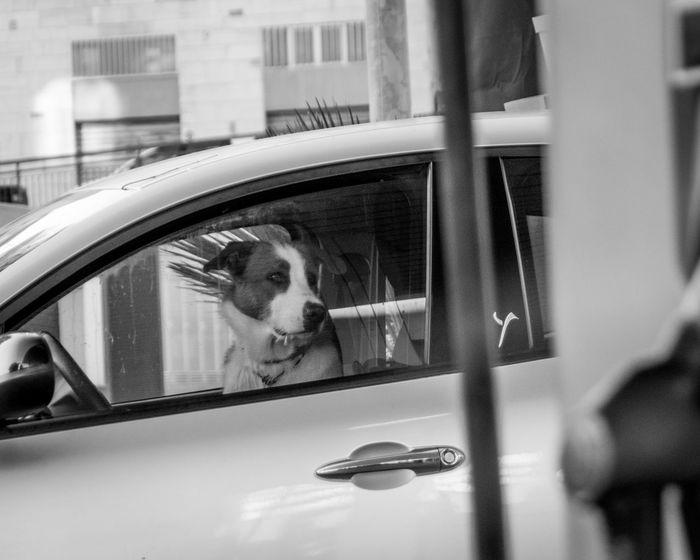 Black And White Street Photography Faithfulness  Car Dog Domestic Animals Locked Up Street Photography Waiting For You