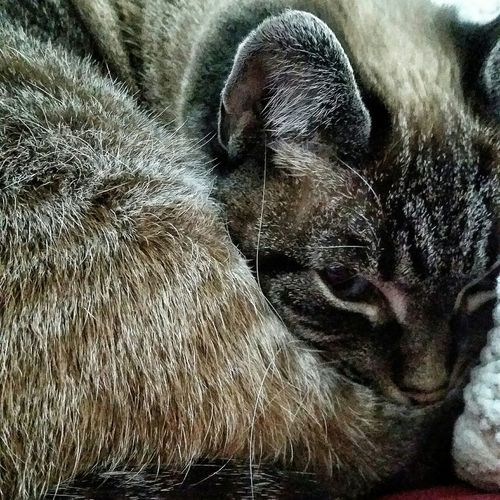 Cute Animals Animal_collection Animallovers Kitty Cat Lovers Cats Siamese Siamesecat Siamesecats Siamese Cat Animal Photography Bengal Cat