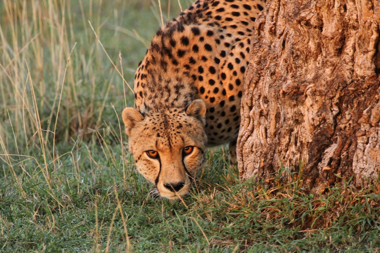 Close-Up Of Cheetah On Grass