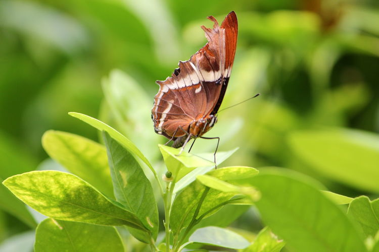 Animal Animal Themes Animal Wildlife Animal Wing Animals In The Wild Beauty In Nature Butterfly Butterfly - Insect Close-up Day Focus On Foreground Green Color Growth Insect Invertebrate Leaf Nature No People One Animal Outdoors Plant Plant Part