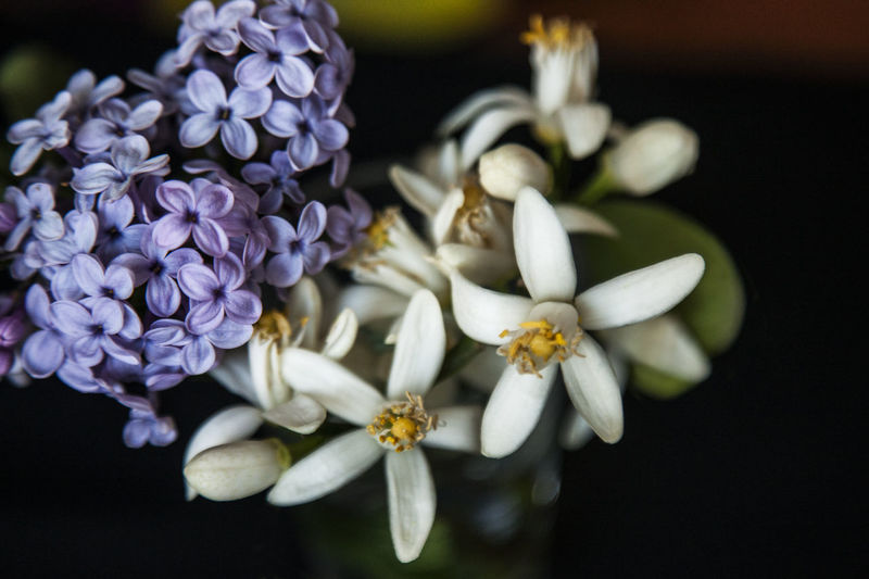 Beauty In Nature Blooming Blossom Botany Bouquet Bouquet Of Flowers Close-up Elégance Flower Flower Head Fragility Freshness Full Frame In Bloom Lilac Lilac Flower Nature New Life Orange Orange Flower Petal Pollen Selective Focus Springtime White