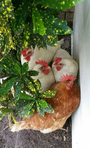 4 Chickens Snuggling Together No People Chickens Free Range Shelter Group Of Animals Domestic Chooks Birds Plant Nature Growth Day Close-up Outdoors