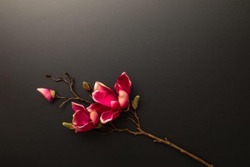 Close-up of pink rose against black background