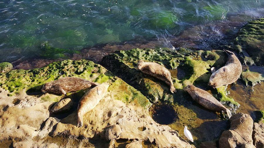 California Seal Life Seal Sealife Seal - Animal Seals Chilling Seals On Rocks La Jolla La Jolla Children's Pool Seals San Diego San Diego Life California Beautiful California EyeEm Selects Water Beach Sand Sea Sunlight High Angle View Close-up