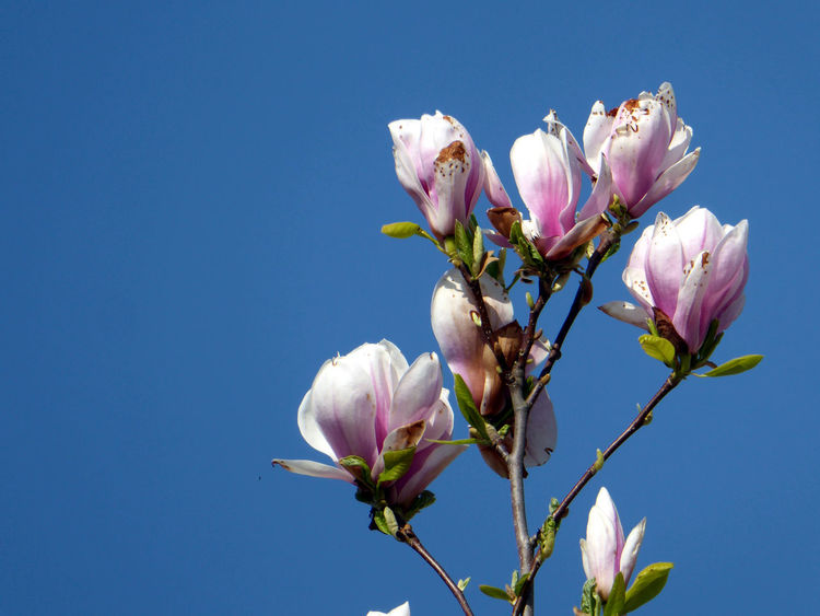 Contrast In Nature For My Friends 😍😘🎁 Close-up Springtime💛 Perfect Sky Enjoy The Little Things Nature Beauty On My Doorstep Looking Up😍 Low Angle View Simple Beauty On My Way To Work Always Amazing To See Magnolia Blossoms Blue Sky