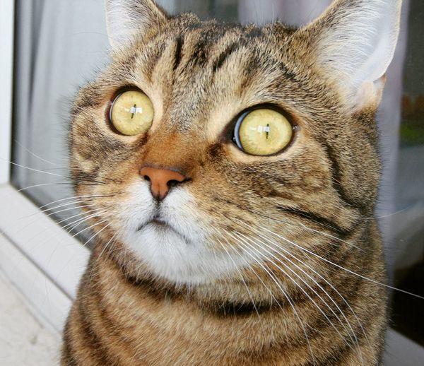 Cats Cat Followme Happy Nyash Animal кот Котик котэ няша лапа пупсик шотландец