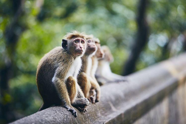 Monkeys on retaining wall