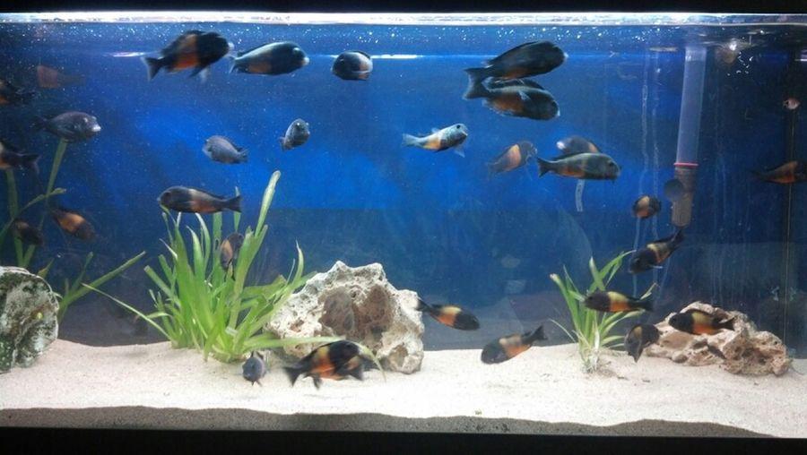 Aquari Malawis