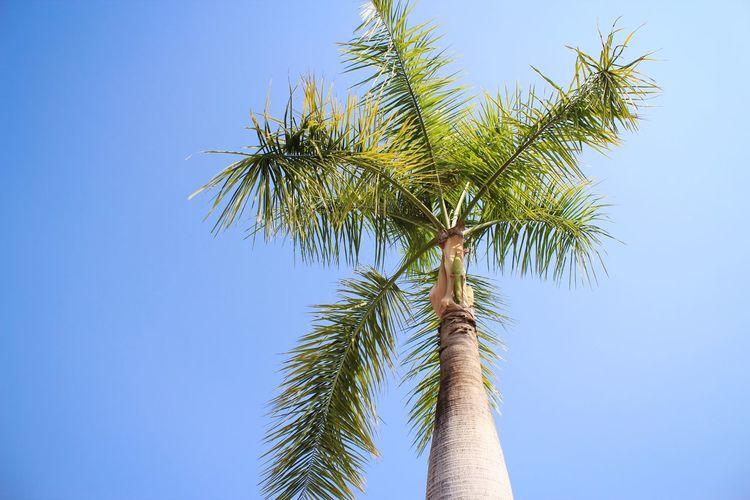 Clear Blue Sky Blue Sky Macadamia Macadamia Nuts Tree Clear Sky Palm Tree Branch Coconut Tree Area Blue Tree Trunk Plant Part Leaf Single Tree Treetop Tropical Tree